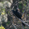 Groove-billed Anis