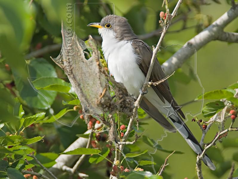 Yellow-billed Cuckoo,<br /> Galveston State Park, Texas