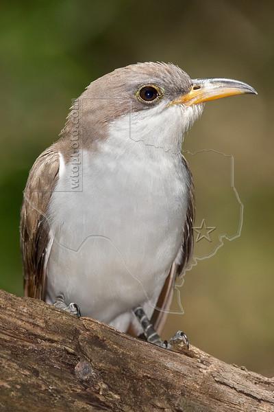 Yellow-billed Cuckoo,<br /> Lafitte's Cove, Galveston, TX