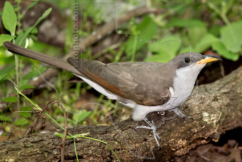 Yellow-billed Cuckoo,<br /> Lafitte's Cove, Galveston, TX