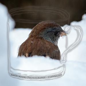 Dark-eyed Junco feeding down in the snow..