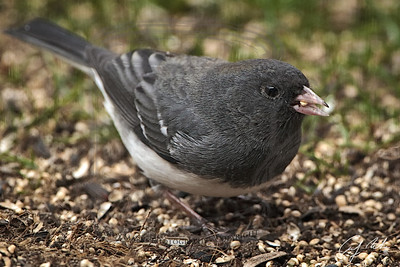 """I think this might be a young Dark eyed Junco: gray head, with light brown """"stripe"""", the bill is white/pink w dark spots, same ridge, etc."""