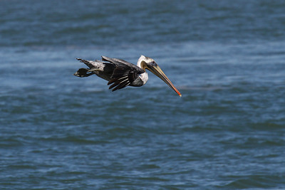Brown Pelican_1c Diving