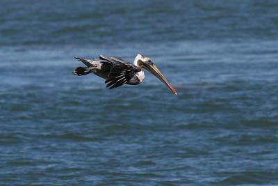Brown Pelican_1c Diving