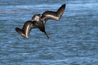 Brown Pelican_3c Diving