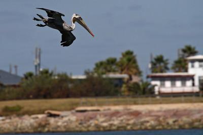 Brown Pelican_1a Diving