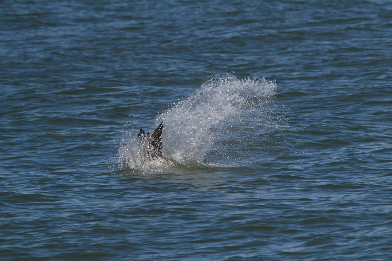 Brown Pelican_1f Diving
