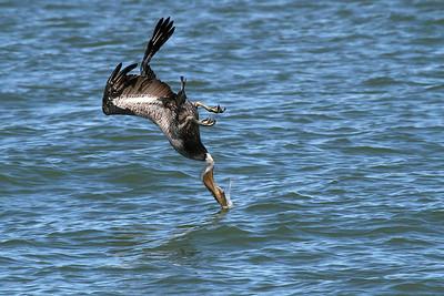 Brown Pelican_3d Diving