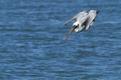 Brown Pelican_2b Diving