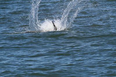Brown Pelican_3e Diving