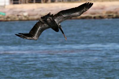 Brown Pelican_3b Diving