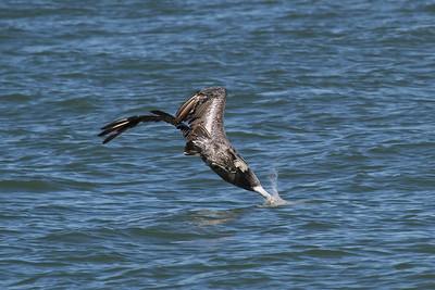 Brown Pelican_1e Diving