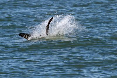 Brown Pelican_3 Diving