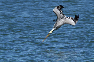 Brown Pelican_2c Diving