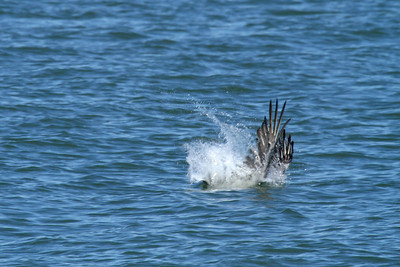 Brown Pelican_2d Diving