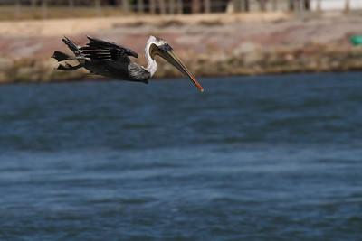 Brown Pelican_1b Diving