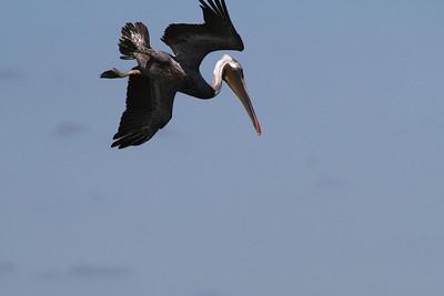 Brown Pelican_3a Diving