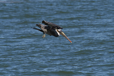 Brown Pelican_1d Diving
