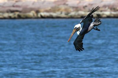 Brown Pelican_2a Diving