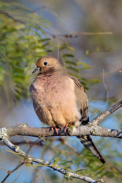 Mourning Dove, Nordheim, Texas