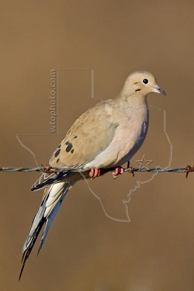 Mourning Dove,<br /> Attwater Praire Chicken National Wildlife Refuge, Texas