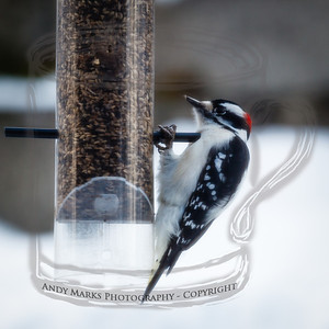 Downy Woodpecker at the finch feeder, shot through the dining room window/screen, LR4 beta pp. 19Feb12