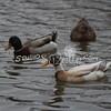 2013, 12-29 Ducks119