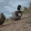 2013, 12-29 Ducks110