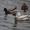 2013, 12-29 Ducks120