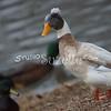 2013, 12-29 Ducks106