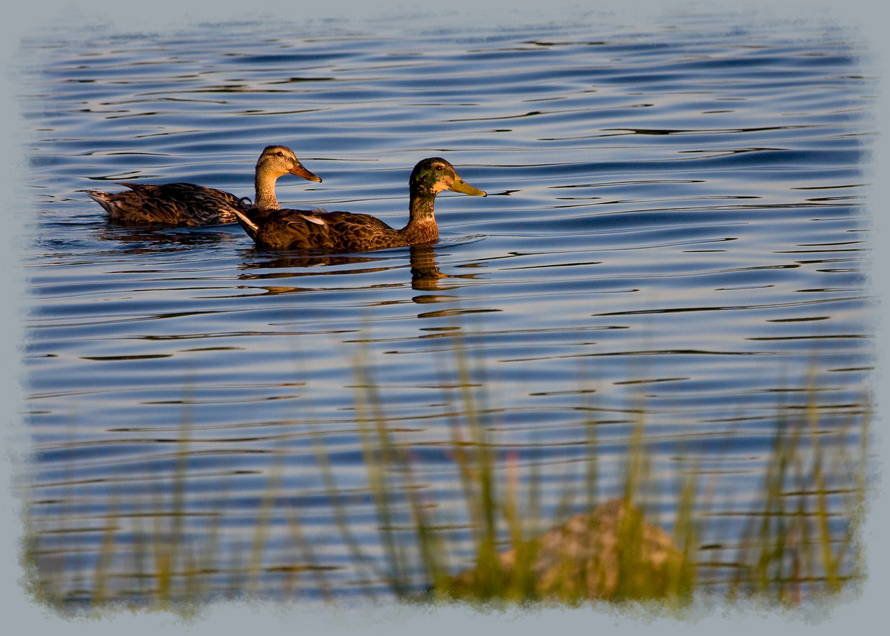 Ducks at Sunset<br /> <br /> (Thanks for all the comments yesterday, even though my commenting has been light to non-existent recently )