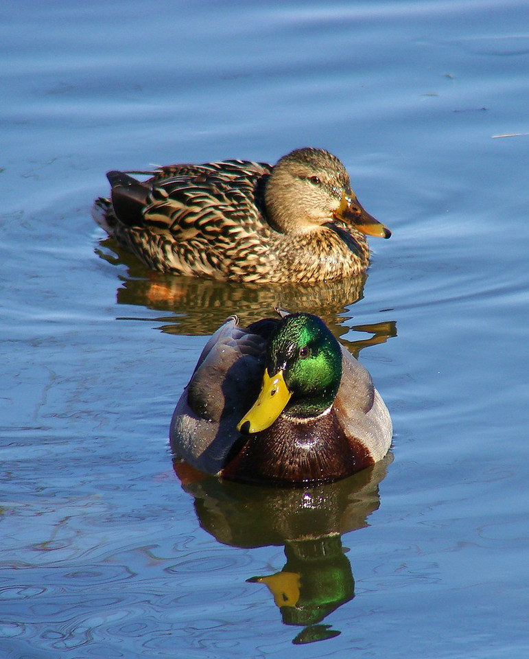This was about the best mallard shot I could get with the DSC-H5.