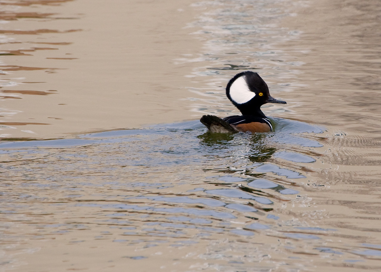 My you are a pretty duck ... no need to get a big head over it though.<br /> <br /> His head wasn't this big when I first saw him, must be a defense or warning mechanism. WhatBird tells me this may be a Hooded Merganser?