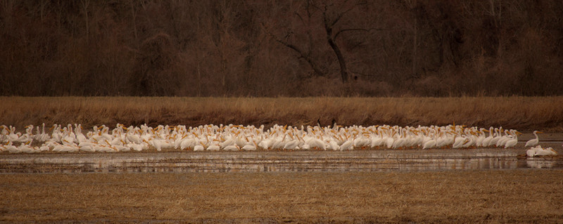 white pelicans, Eagle Bluffs, 2011