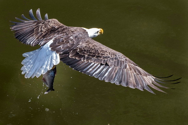 Eagle Fishing Sequence