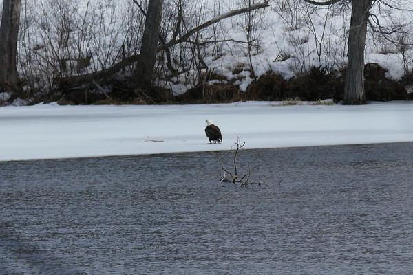 Eagle on Ashland River