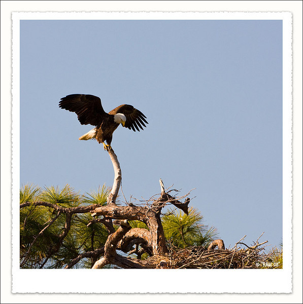 Bald Eagle<br /> Tierra Verde,Fl.