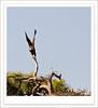 Bald Eagle<br /> Tierra Verde Fl.