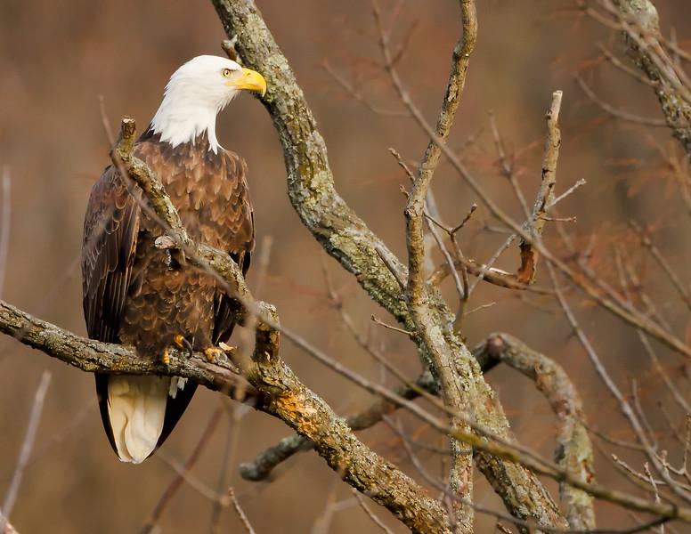 Bald Eagle<br /> Bald Eagle in Black Valley, Bedford Co. PA