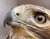 Red-tailed Hawk Portrait<br /> Red-tailed Hawk