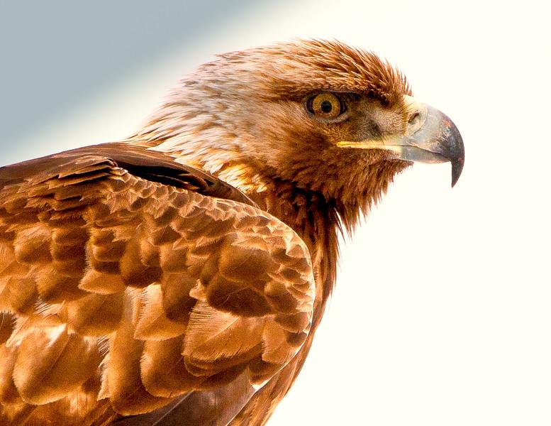 Regal Golden Eagle<br /> Wild Golden Eagle just outside Bryce Canyon NP, Utah