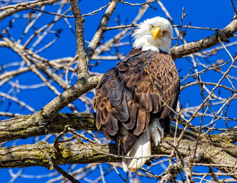 Eagle Stare