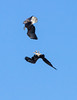 Somersaulting Eagles<br /> Bald eagle watching Lock and Dam 14 Mississippi River, Iowa