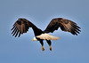 American Bald Eagle<br /> Viera Wetlands<br /> Melbourne, Florida<br /> 110-7484b