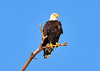 American Bald Eagle<br /> Bradenton, Florida<br /> 114-9196a