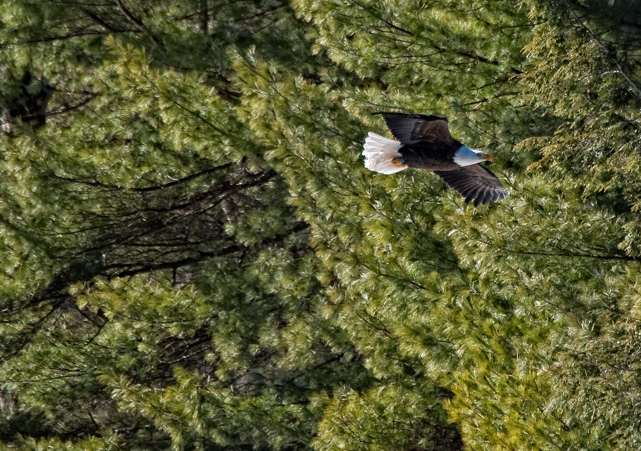Bald Eagle Flying Past Fir Trees Along River