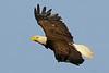 American Bald Eagle<br /> Merritt Island National Wildlife Refuge<br /> Merritt Island, Florida<br /> 111-8210a