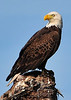 American Bald Eagle<br /> Viera Wetlands<br /> Melbourne, Florida<br /> 119-0301