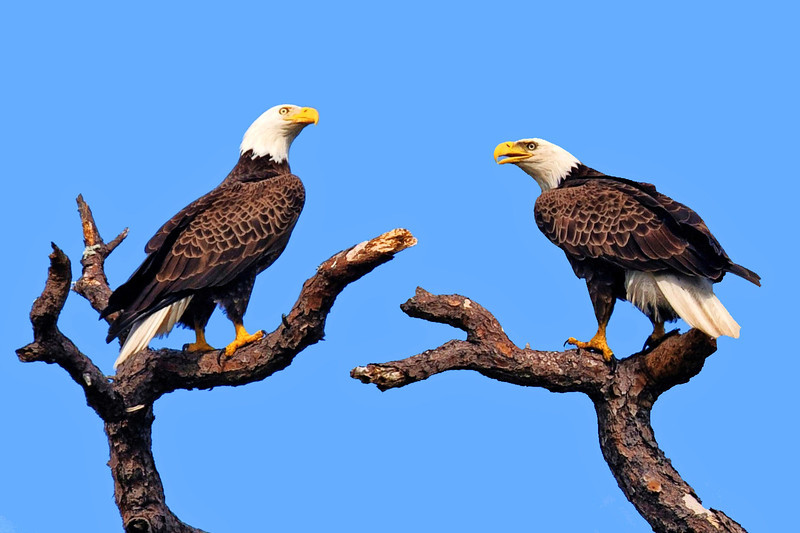 American Bald Eagles<br /> Bradenton, Florida<br /> 110-0001e-tm2