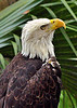 Bald Eagle<br /> Brevard Zoo, Florida<br /> 063-0072a